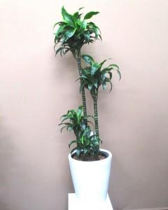 【観葉植物】希少品種「ドラセナ・ドラド」