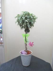 【観葉植物】サマーギフトに「フィカスベンジャミナ・スターライト」
