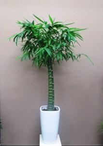 【観葉植物】竹の鉢植え「かぐや竹」