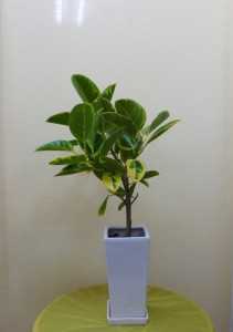【観葉植物】斑入りアルテシーマ(ゴムの木)