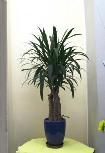 【観葉植物】根上りアオドラ