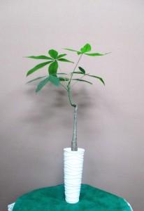 【観葉植物】スマートで涼しげ、お家にも飾れる植物02