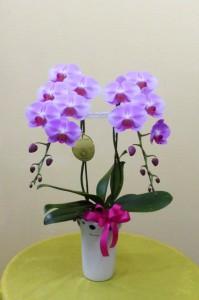 【胡蝶蘭】サマーギフトに新しい品種のコチョウラン「ももか」