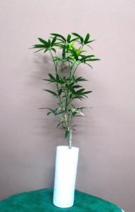 【観葉植物】スマートで涼しげ、お家にも飾れる植物01