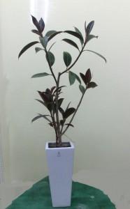 【観葉植物】おしゃれなゴムの木「フィカス・メラニー」