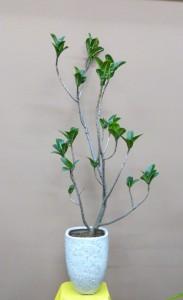 【観葉植物】ラーメン店のオープンに枝の流れが美しいアポロゴムの木