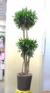 【観葉植物】グリーンが2段の30号鉢の大きなドラセナ・ソングオブジャマイカ