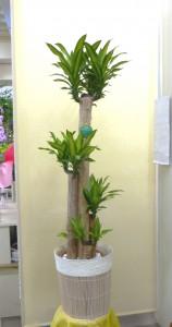 【観葉植物】新築祝いに幹の太い幸福の木「ドラセナ・マッサンギアナ」